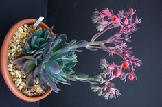 flowering echeveria - Google Search