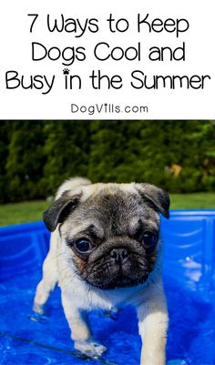 The Pug, one of the spunkiest toy breeds, is also one of the oldest breeds of dog. Find out what else makes Pugs so irresistible. Diy Pet, Pet Sitters International, Summer Dog, Pet Safe, Dog Hacks, Cool Pets, Dog Care, Dog Owners, Dog Mom