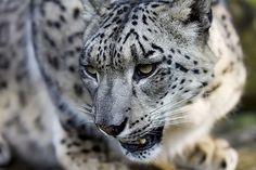 Snow Leopard, via Flickr.