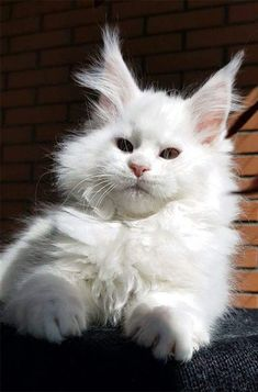 new Ideas for cats white maine coon Kittens Cutest, Cats And Kittens, Ragdoll Kittens, Tabby Cats, Funny Kittens, Bengal Cats, Kitty Cats, Beautiful Cats, Animals Beautiful