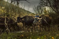In the land of the buffalo by Vagelis Poulis on 500px