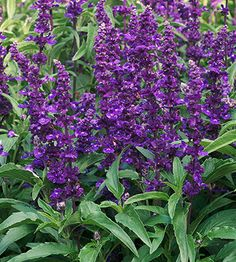 """Victoria Blue"" Salvia....front flower bed"