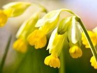 Prvosenka neboli petrklíč, léčivý posel jara