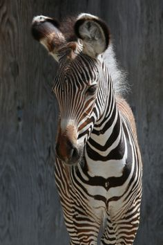 Endangered Zebra Filly Born at Toronto Zoo
