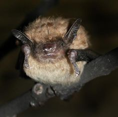 Big brown bat (Epesicus fucus)