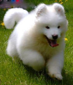 cutest Samoyed puppy ever!