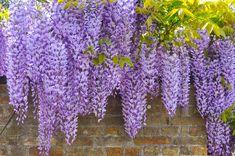 Wisteria (Blauwe regen) is een goede klimplant om tegen een tuinmuur aan te leiden. De plant heeft wel wat steun nodig ...