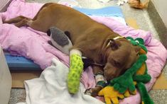 A Massachusetts pit bull named Lilly took on a freight train last week to save her owner, who collapsed unconscious onto the tracks during a late-night walk in Shirley. The 8-year-old dog used her teeth to