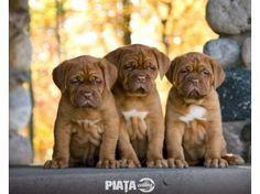 Animale de companie, Vanzari, cumparari, Vand catei Dog de Bordeaux, imaginea 1 din 1