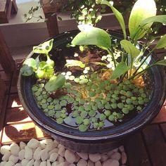 男性で、の睡蓮鉢/メダカ/観葉植物/バルコニー/ビオトープについてのインテリア実例を紹介。「ビオトープ。だいぶ落ち着いたかな。」(この写真は 2015-05-30 20:20:41 に共有されました)