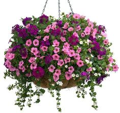 Sugar Plum | Proven Winners-1 of each Supertunia® Flamingo Petunia, Superbena® Royale Plum Wine Verbena, Snowstorm® Giant Snowflake® Bacopa