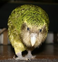 Amorous chap Sirocco was given the title of Official Spokesbird for Conservation by New Zealand Prime Minister John Key in 23 Things You Didn't Know About The Flightless Parrot Facing Extinction Flightless Parrot, Kakapo Parrot, Animals And Pets, Cute Animals, Wild Animals, Bird Barn, Barn Owls, Budgies, Parrots