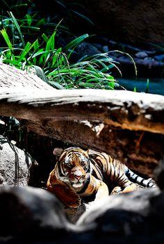 Tiger   san diego zoo  #tiger #sandiegozoo #animals