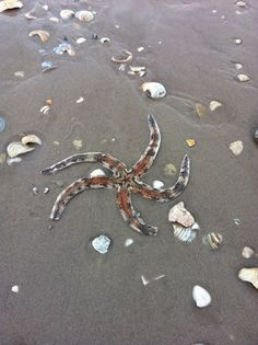 Giant Starfish. South Padre Island