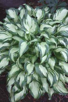 Hosta 'Allegan Fog' (K. Herrema/P. Ruh 00) - Plant Delights Nursery