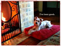 """""""I've been good,"""" said Annabelle the white schnauzer… Waiting for Santa. Grace Grits and Gardening"""