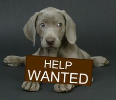 FOSTERS Needed is an adoptable Weimaraner Dog in West Vancouver, BC.  ...