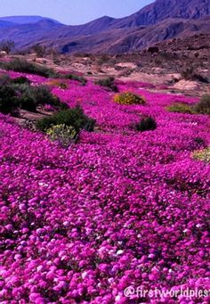 Mid-March is usually peak wildflower season at Anza-Borrego Desert State Park in southern California. This ribbon of verbena along Henderson Canyon Road outside Borrego Springs flows along a dry river bed, marking the path of rainwater washes.   (Anza - Borrego State Park, CA)