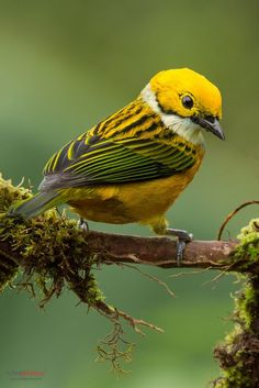 ~ Silver Throated Tanager ~                                                                                                                                                                                 More