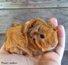Thankfully, Guinea Pigs are perfect for children of all ages because not only are they small, they don't need that much maintenance, and they can even live up to 7 years in captivity.