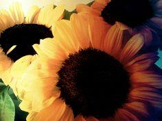 My lovely sunflowers