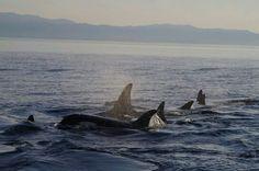 Sooke Coastal Explorations - resident orca