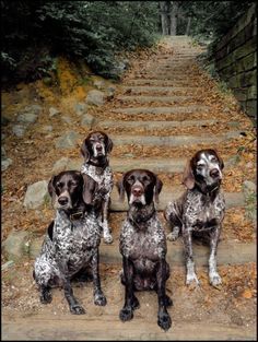 German Shorthaired Pointer Group VII: Photo by Photographer David Wisse . awww, this defines beautiful! Pointer Puppies, Dogs And Puppies, Doggies, German Dogs, German Shepherd Dogs, Weimaraner, Best Dog Breeds, Best Dogs, Hunter Dog