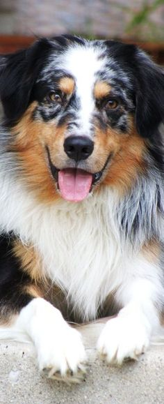 Jessica and Ben's Australian Shepherd - Cooper Woods Australian Shepherds, Australian Shepherd Puppies, Aussie Puppies, Cute Dogs And Puppies, I Love Dogs, Doggies, Beautiful Dogs, Animals Beautiful, Animals And Pets