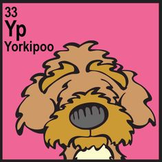 Yorkipoo (Poodle  x  Yorkshire Terrier)