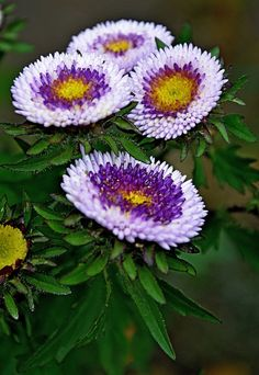 These asters are so different and colorful! Great choice for late summer color.