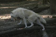 New White Wolves 5 by Lakela on DeviantArt