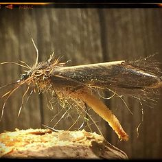 Caddisfly! #catchandrelease