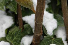 Feigenbaum winterhart