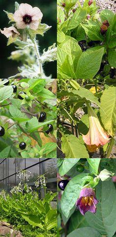"""Saatgut Set: """"Sagenumwobene Nachtschattengewächse"""", 5 magische Pflanzen als Samen in hübscher Geschenkverpackung."""