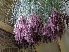 Miscanthus Subrosa hangs to dry at Bisselingskaat, organic cut flower farm in NL