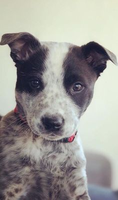 First puppy 😍 ya boi Harvey Australian Cattle Dog, Picture Video, Cute Pictures, Happiness, Puppies, Pets, Animals, Cubs, Animales