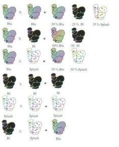 BBS Silkie Breeding Chart