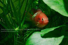 Red Jewel Cichlids: Photo des Tages - Hemichromis guttatus Weibchen im...