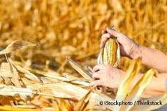 Bt Crops Could Be Monsanto's Greatest Failure.