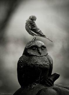 finch on owl