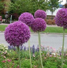 How to Grow Allium Giganteum From Seed Allium Flowers, Purple Flowers, Easy To Grow Bulbs, Garden Bulbs, Flower Ball, Backyard Makeover, Garden Seeds, Flower Seeds, Garden Inspiration