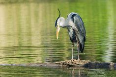 waiting for fish... - Heron