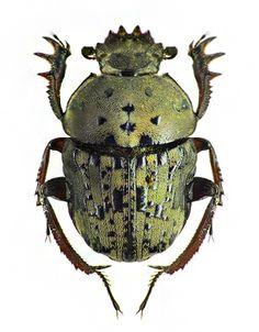 Allogymnopleurus spilotus