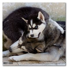 These are not my boys, but sure do look like them! I love Siberian Huskies!