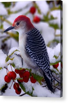 Red Bellied Woodpecker by Ron Jones – Beste Winterbilder Exotic Birds, Colorful Birds, Pretty Birds, Beautiful Birds, Bird Gif, Young Animal, Bird Drawings, Drawing Birds, Bird Pictures
