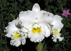 Ricardo's Blog, orchids, parrots, fish and people: Cattleya Earl 'Imperialis' FCC/AOS