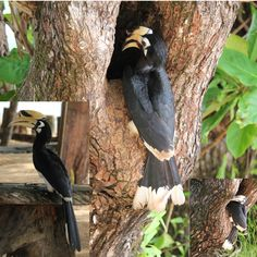 Oriental Pied Hornbills are very common on Koh Yao Noi and other islands in Phang Nga Bay.  No one messes with them, so they're not shy. We often see them when we're kayaking.  #hornbill #hornbills #thaibirds #thailandbirds  #kayakingthailand #thailandkayaking #phangnga #kayak #kohyaonoi King Thailand, Phuket Thailand, Kayak Adventures, Travel Tours, Canoe, Trekking, Kayaking, Adventure Travel, Islands