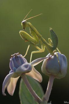 Praying mantis by Hung Ho