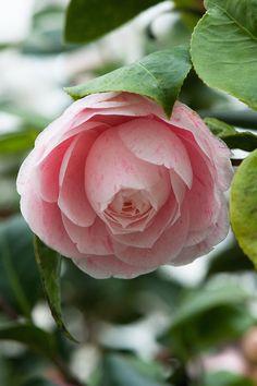 Camellia japonica 'Gray's Invincible' (UK, 1824)