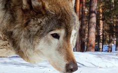New 'Protection' for Endangered Mexican Gray Wolves Makes it Legal to Hunt Them (>_<)